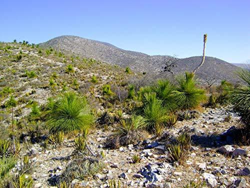 Bio-Saatgut Nicht nur Pflanzen: 1 Dasylirion longissimum VAR. inermis Keine oe Agave durch FäHRE