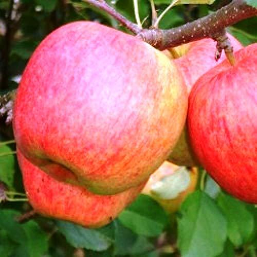 Apfelbaum Desertnoe,Apfel Sommerapfel Desertnoe veredelte Apfelbaum ca 180 cm