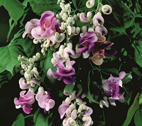 Derlam Samenhaus-50 Samen Schneckenbohne Blumensamen Leichter Duft mehrjährig winterhart kletterpflanzen Samen für Balkon Garten