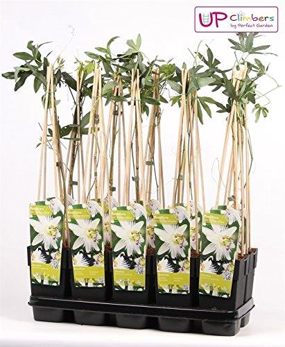 Winterharte Passionsblume, exotische Schönheit, (Passiflora caerulea), ca. 65cm hoch im 15cm Topf, (Weiss (Constance Elli))