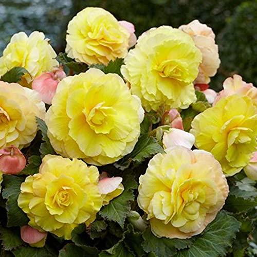 Superba Begonia Picotee Yellow - 2 Bulbs 7/+cm Bulbs