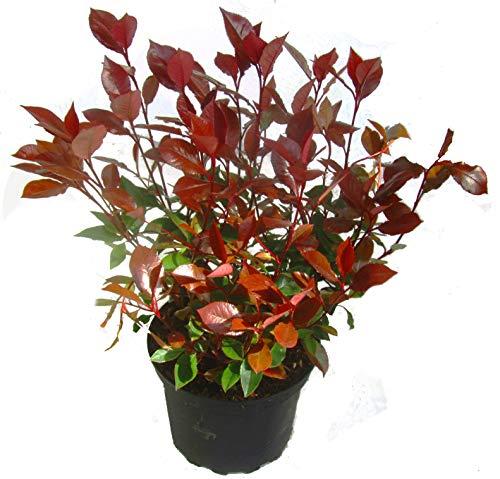 Kleine Glanzmispel - Photinia Fraseri \'Little Red Robin\' - winterhart, immergrün, Klein-Strauch-19 cm Topf