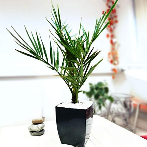 Easy Plants® Großer Phoenix Palme in glänzend schwarz Milano Quadratischer Topf immergrün Zimmerpflanzen