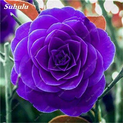 Grosses soldes! 10 Pcs Camellia Graines, Graines Bonsai Fleur, couleur rare, bonsaïs d'intérieur / extérieur Plante en pot pour jardin Facile à cultiver 17
