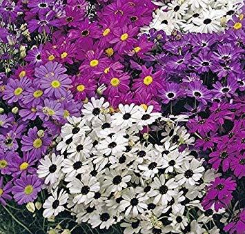SANHOC Graines Paquet: SeeKay Brachycome iberidifolia mixte - 7000 appx graines - Annuelles et BiennialsSEED
