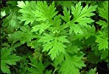 AGROBITS Artemisa - Qing Hao - Artemisia annua - 200 + Semillas - Planta dulce!