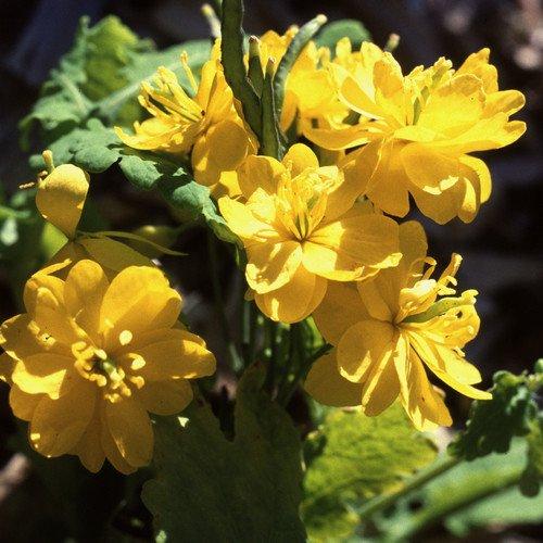 Plant World Seeds - Chelidonium Majus Fl. Pl. Seeds