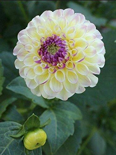 Couleurs mélangées rares Dahlia Graines Graines Fleurs vivaces Belles Dahlia pour le bricolage jardin 100PCS/Sac 11
