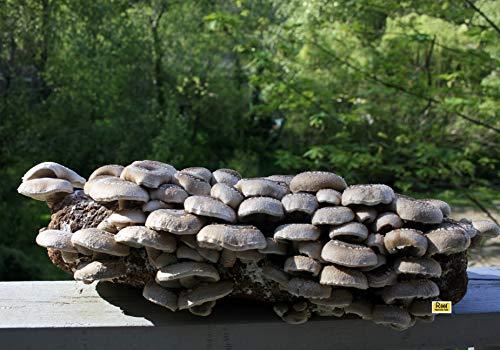 Root Mushroom Farm- Shiitake Mushroom Growing Kit-Starting Right Away-New Launched