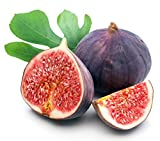 Chicago Edible Fig Plant - Ficus - Hardy - 2.5' Pot