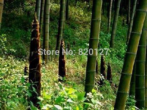 Vente en gros 1000 + PCS BAMBOU MOSO ÉNORMES Graines MAO Bambou - Phyllostachys pubescens / edulis - Moso Hardy Bamboo