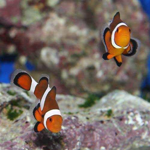 (海水魚)沖縄産 カクレクマノミ Mサイズ(ワイルド)(1匹) 本州・四国限定[生体]