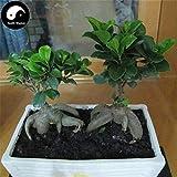 PLAT FIRM Germinación de las semillas: 50pcs: Compra Ficus Microcarpa Raíces del árbol Semillas de la planta de Ginseng Ficus Bonsai