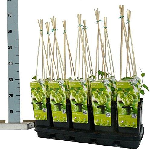 Blumen-Senf Hopfen Humulus lupulus Nordbrau 45 cm / Topf Ø 12 cm - starkwachsende Kletterpflanze