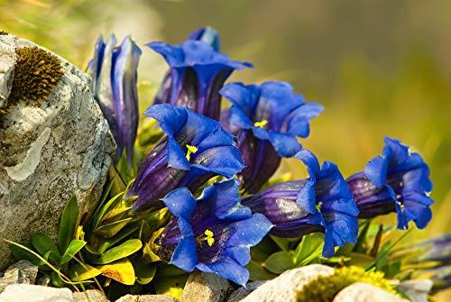 Enzian 50 Samen, Blauer Alpen-Enzian, (Gentiana accaulis 'blue')