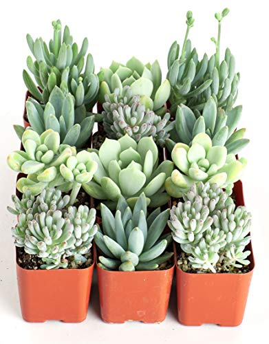 Shop Succulents | Soft Blue Collection | Assortment of Hand Selected, Fully Rooted Live Indoor Succulent Plants, 12-Pack