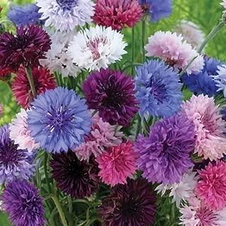 Cutdek Cornflower Polka Dot Mix Seeds (Centaurea Cyanus) 100+Seeds