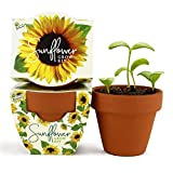 Buzzy Seeds Terra Cotta Minis 12-Pack - for Weddings, Parties, Events, Modern, Trendy, Unique and Fun Gardening Favors and Gifts - Growth Guaranteed! (Daydream - Sunflower)
