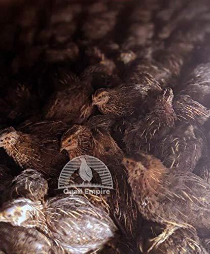 55+ Jumbo Wild Quail Hatching Eggs