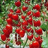 Vistaric 100psc Semillas de Tomates Griegos Heirloom Sweet Gardening Bonsai Plantas No-gmo Semillas de Verduras Para Jardín de Hogar Plantado Regalo enviado