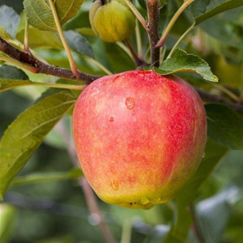 Apfel Baum 'Elstar' Malus domestica 150-200cm im 7,5L Topf gewachsen winterhart - 4
