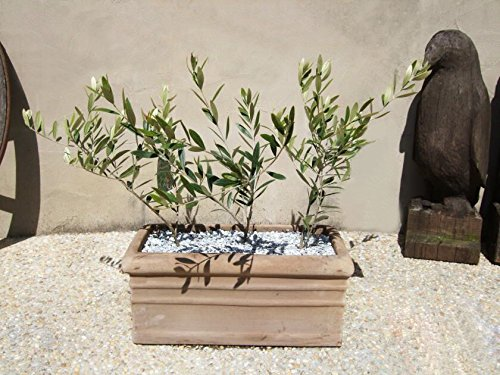15seeds / pack Olive tree Bonsai (Olea europaea) Graines, Bonsai Mini Olive Tree, Olive Bonsai frais Arbre Exotique Graines