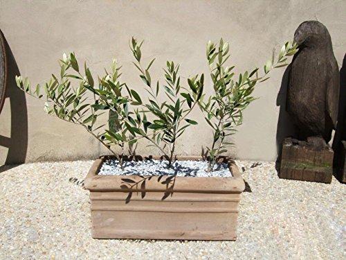 10 / sac Olive Bonsai arbre (Olea europaea) Graines, Bonsai Mini Olive Tree, Olive Bonsai frais Arbre Exotique Graines