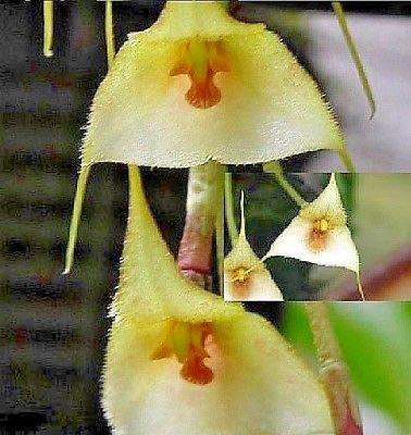Stk - 1x Dracula deltoidea Gesicht Original Pflanze Orchideen L7 - Seeds Plants Shop Samenbank Pfullingen Patrik Ipsa