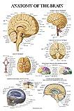 Brain Anatomy Poster - Laminated - Anatomical...