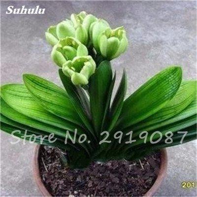 Exotiques Clivia Graines de plantes en pot Diy, intérieur Pot Seed Couleurs multiples Pour Choisir Bonsai Usine Maison et jardin Décor 100 Pcs 9