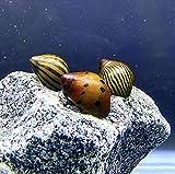 Nerite Snails x3 (Neritina SP.) Mix Pack - Live...