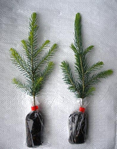 10 x Norway Spruce, Abies Picea Evergreen Christmas Tree Plug Plant Seedlings