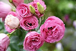 Lisianthus Seeds 50Pcs,Eustoma Fllower Seeds Plants Perennial Flowering Plants Balcony Potted Flowers Seeds … (Pink Lisianthus Seeds)