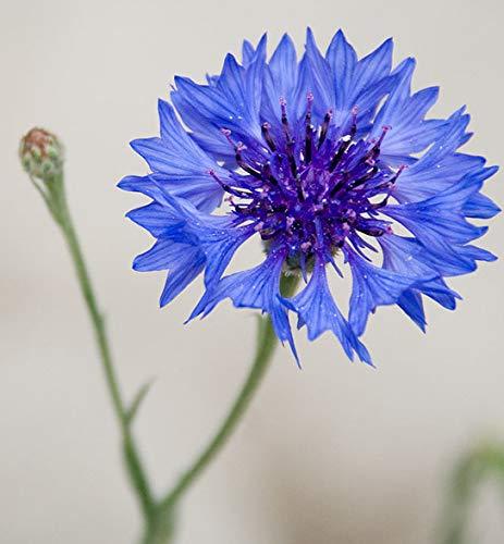 "Bachelor Button Tall""Blue Cornflower Flower Seeds- 200 Premium Heirloom Seeds- ON Sale! - Centaurea Cyanus - (Isla's Garden Seeds) - 99.7% Purity!"