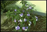 152005 Brunfelsia Pauciflora Eximia (Yesterday Today & Tomorrow) A4 Photo Poster Print 10x8