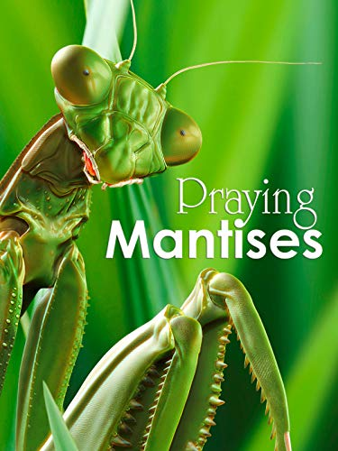 Praying Mantises - The Kung Fu Killers of the Insect Kingdom