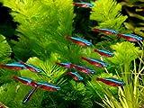 Aquarium Plants Discounts 6 Tetra Cardinals Medium - Freshwater Live Tropical Fish