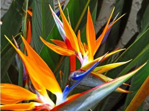 véritables de graines, 1 pièce/sac d'oiseaux de paradis Semences, Strelitzia Reginae Graines de fleurs, Rare de floraison de plantes Graines de Show In Picture 4