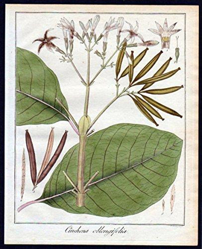 Cinchona oblongifolia - Chinarindenbäume chinchona Kupferstich engraving antique print