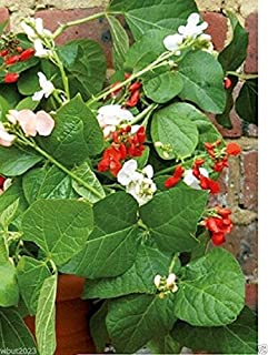 20 Scarlet Runner Bean Mix (Phaseolus Coccineus)Mix of Purple,Red ,White Flowers