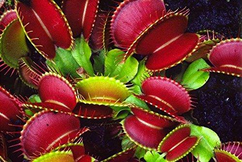 plante carnivore Dionaea, Venus Fly Trap, 30 graines