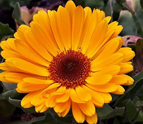 Calendula OFFICINALIS Topf Ringelblume lange blühende essbare Blume winterharte Pflanzen Paket mit mindestens 50 Samen