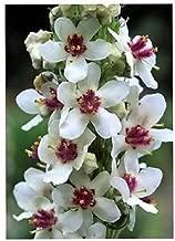 50 WEDDING CANDLES VERBASCUM Chaixii Album Mullein White Purple Flower Seeds