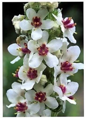50Hochzeit Kerzen Königskerze chaixii Album Königskerze weiß lila Blume Samen