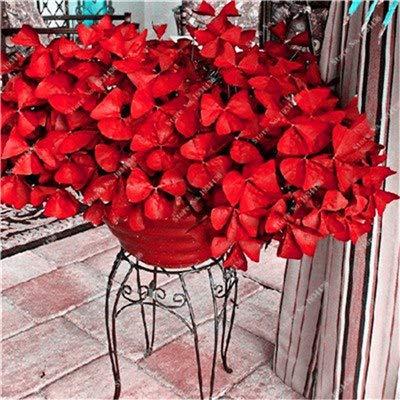 Elitely 35 Stück Oxalis Versicolor Blumen Samen Welt selten Seltene Blumen Garten Heim Samen Ing O. Versicolor Blumen Semillas: Rosa
