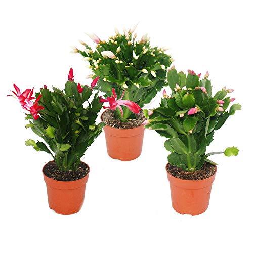 Exotenherz - Weihnachtskaktus - Schlumbergera - Set mit 3 Pflanzen