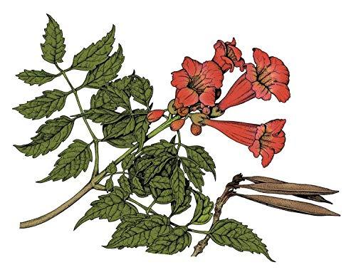 25 Hummingbird Trumpet Creeper Vine Campsis Radicans Flower Seeds