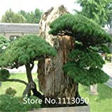 Púrpura: promoción Bonsai Seeds 50 paquetes Bonsai Tree Seeds Pinus Seeds Nigra, Fagus Sylvatica, Acer Palmatum, Acer Buergerianum, Diy Novel Se
