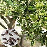 Benoon Semillas De Olivo, 1 Bolsa Semillas De Olivo Semillas De Plantas Simbólicas Rústicas Para El Hogar Semillas de olivo