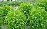 200 Green Kochia Scoparia/Burning Bush/Mexican Fireweed Shrub Seeds